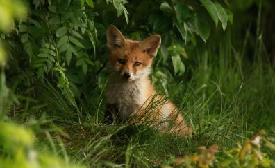 Baby fox predator