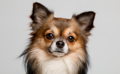 Chihuahua dog muzzle 5k