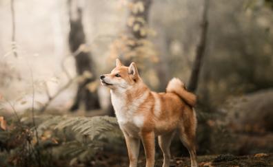 Shiba Inu, confident, dog, outdoor