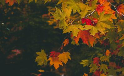 Maple, leaves, autumn, branches