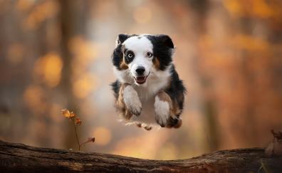 Dog, outdoor, portrait, Australian Shepherd
