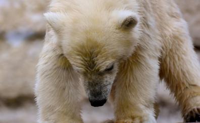 Polar bear white predator