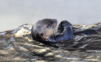 Sea otter aquatic animal