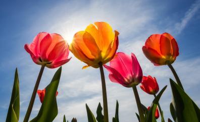 Tulips bloom sunny day spring 5k