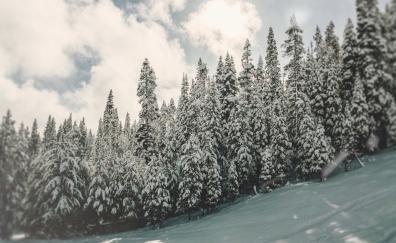 Winter, tree, nature, pine