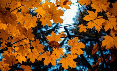 Maple, leaves, yellow, tree branch, autumn