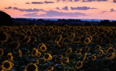 Sunflowers field sunset