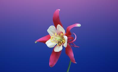 ios 11, flower, gradient, aquilegia