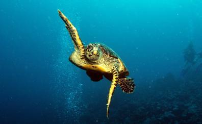 Underwater turtle animal