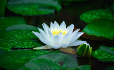 Bloom white water lily flower