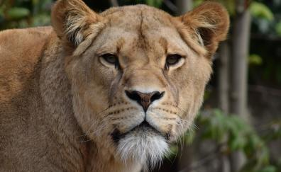 Lion wildlife lioness animal