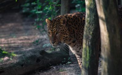 Wildlife leopard animal