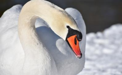 White swam plumage elegant bird