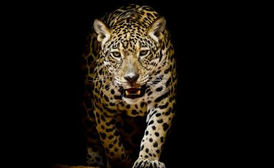 Leopard, predator, portrait