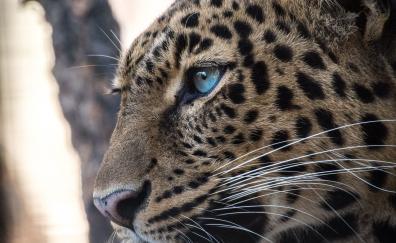 Predator, confident, leopard