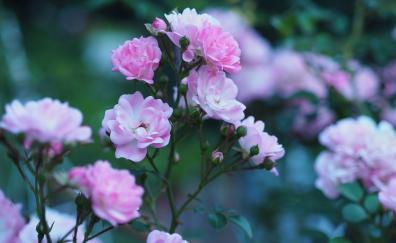 Roses flowers blossom pink flower