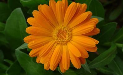 Marigold flower drops