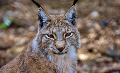 Cat wild lynx predator