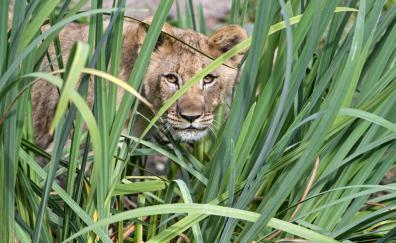 Big grass, lioness, animal, predator