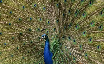 Plumage peacock bird