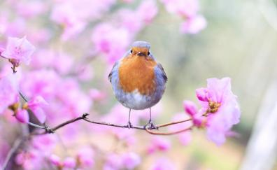 Spring bird robin blossom