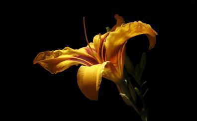 Daylily portrait flower