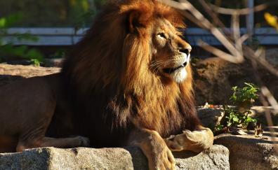 Beast lion predator zoo