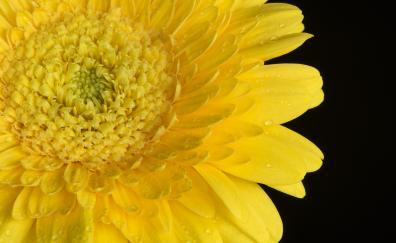 Yellow gerbera flowers closeup