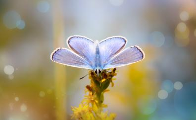 Blue, butterfly, close up