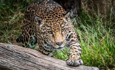 Jaguar predator wild