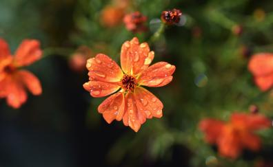 Drops, orange flowers, flora, blur