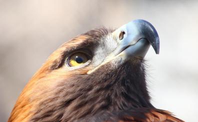 Golden eagle bird muzzle
