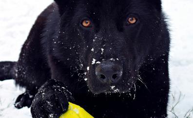 German shepherd black play mood