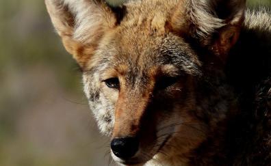 Fox muzzle