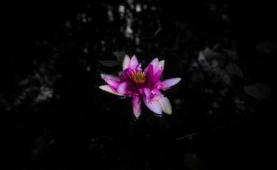 Dark water lily portrait