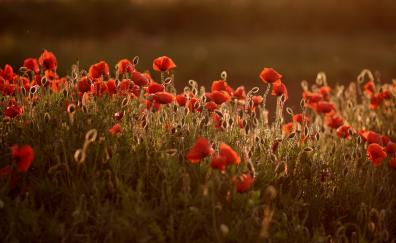Meadow red poppies