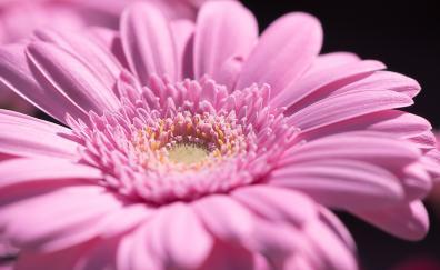 Pollen pink gerbera close up