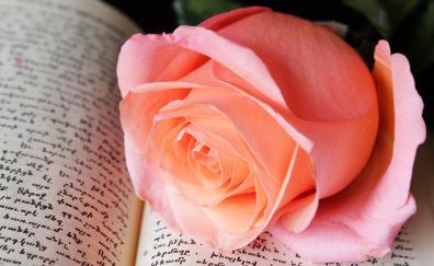 Close up, rose pink, adorable flower