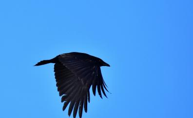 Black bird raven crow