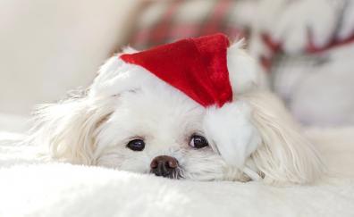 Cute white fluffy dog
