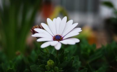 Portrait, daisy flower, blur, leaves