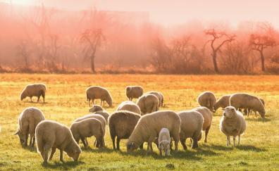 Sheep herd animals