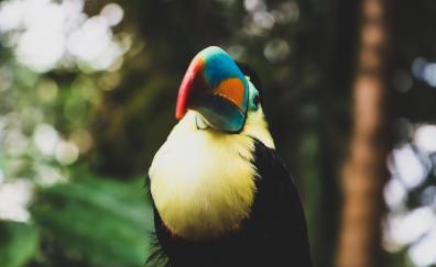 Toucan colorful beak