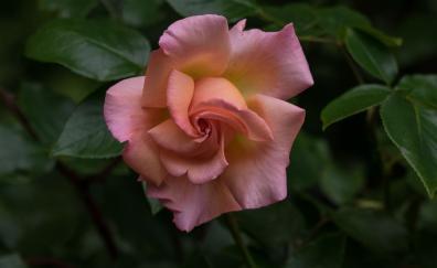 Plant leaves flower rose