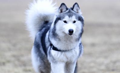 4 Siberian Husky Hd Wallpapers Desktop Pc Laptop Mac Iphone