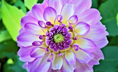 Dahlia flower close up