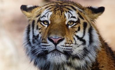 Muzzle tiger predator