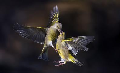 Birds kiss flight