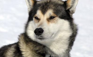 Dog husky muzzle confident