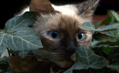 Cat, leaves, muzzle, blue eyes